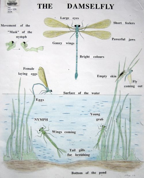 damsel bug life cycle wwwimgkidcom the image kid has it