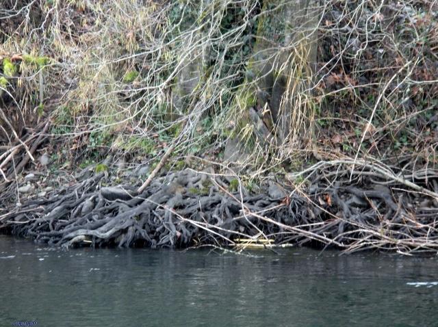 mckenzie roots
