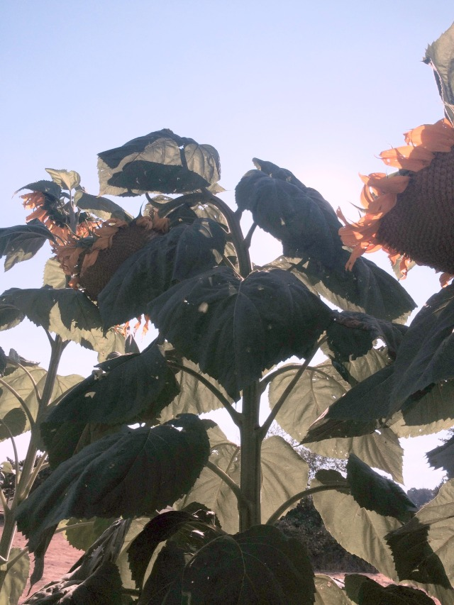 withered sunflower